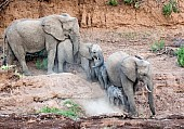 Elephants Climbing Down Riverbank
