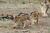 Lion Cubs Walking ahead of Mother