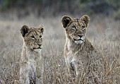 Watchful Young Lions