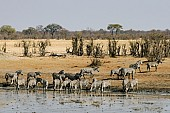 Scenic View of Zebra Herd Gathering to Drink