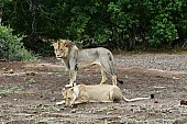 Lion Male Watches as Lioness Drinks