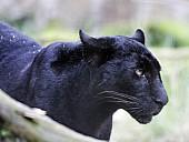 Captive Panther