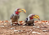 Pair of Southern Yellow-billed Hornbills