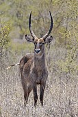 Waterbuck Male, Front-on