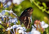 Blue-banded Swallowtail Butterfly, Reference Photo