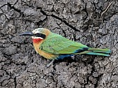 White-fronted Bee-eater, Side-on