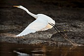 Great Egret Taking Off