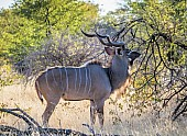 Male Kudu Browsing