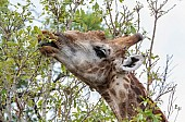 Giraffe plucking leaves using long tongue