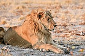 Male Lion Front Legs Outsretched