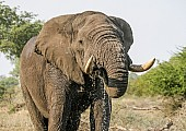 African Elephant Using Trunk to Drink