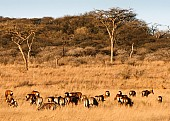 Acacia Trees with Wildlife in Foreground