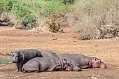 Hippos resting near water's edge
