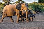 Elephant Matriarch with Juveniles