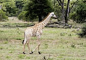 Giraffe Youngster Walking