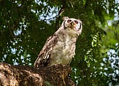 Verreaux's Eagle-Owl Looking Up
