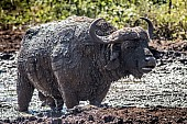 Mud-encrusted Buffalo Bull