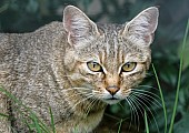 African Wild Cat Reference Image