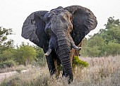 Bull Elephant with Head Cocked