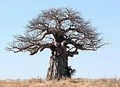 Baobab Tree Against Blue Sky