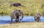 Elephants in River Channel