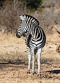 Zebra Standing Looking over Shoulder