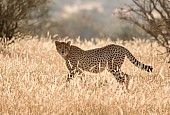 Cheetah in Backlighting