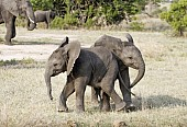 Elephant Youngsters at Play