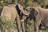 Elephants clashing trunks