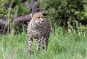 Male Cheetah in Summer Vegetation