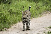 Leopard Walking along Path