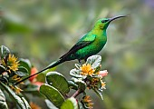 Malachite Sunbird in Full Breeding Plumage