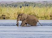 Elephant Waist-deep in River