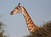 Female Giraffe head and neck