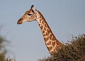 Female Giraffe head and neck