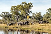Elephant Herd Feeding on River Bank