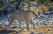 Leopard Stepping Along Path