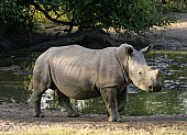 Juvenile Rhino at Waterhole