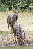 Nyala Males at Waterhole