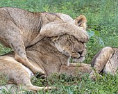 Lion Cub Clambering over Lioness