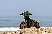 Goat on Rocky Outcrop at Seaside