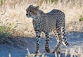 Cheetah Walking along Roadway