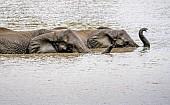 Elephant Pair Swimming