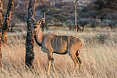 Kudu Male Reference Photo