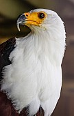 African Fish Eagle Looking Over Shoulder