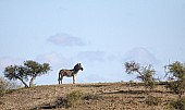 Zebra on Hill with Sky in Background