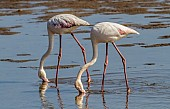Greater Flamingo Pair