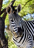 Zebra in Shade of Tree
