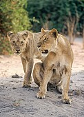 Lioness with Young Male Lion