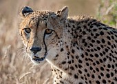 Cheetah Female,  Head and Neck